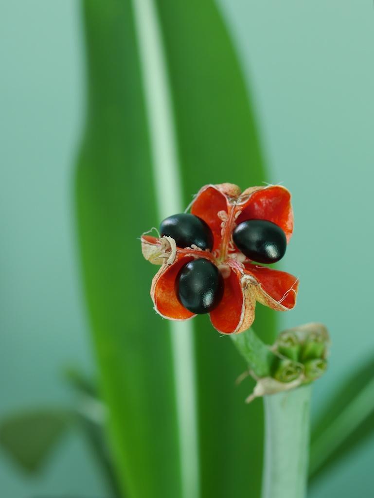H. reticulatum seeds