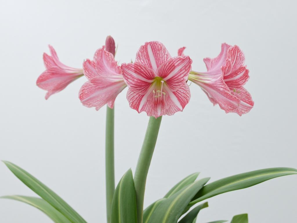 Single flowered amaryllis a h for Amaryllis rose