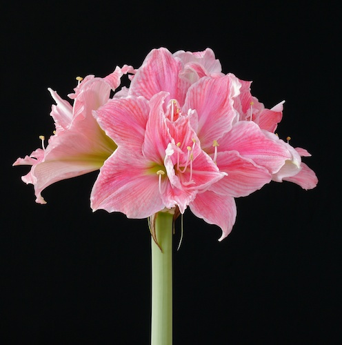 Sweetnymphnotpinkn for Amaryllis sweet pink