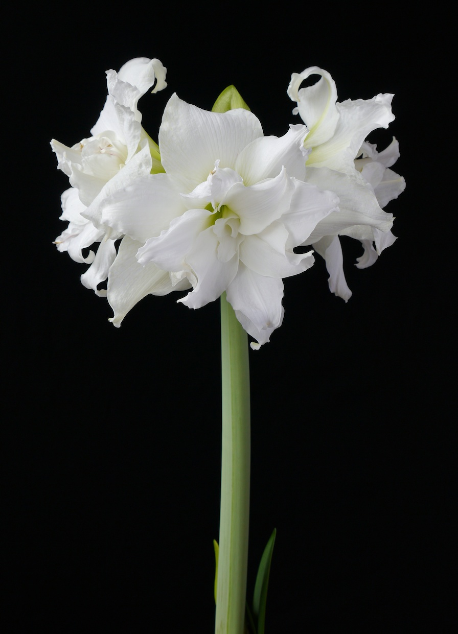Double Flowered Amaryllis Emaryllis Com