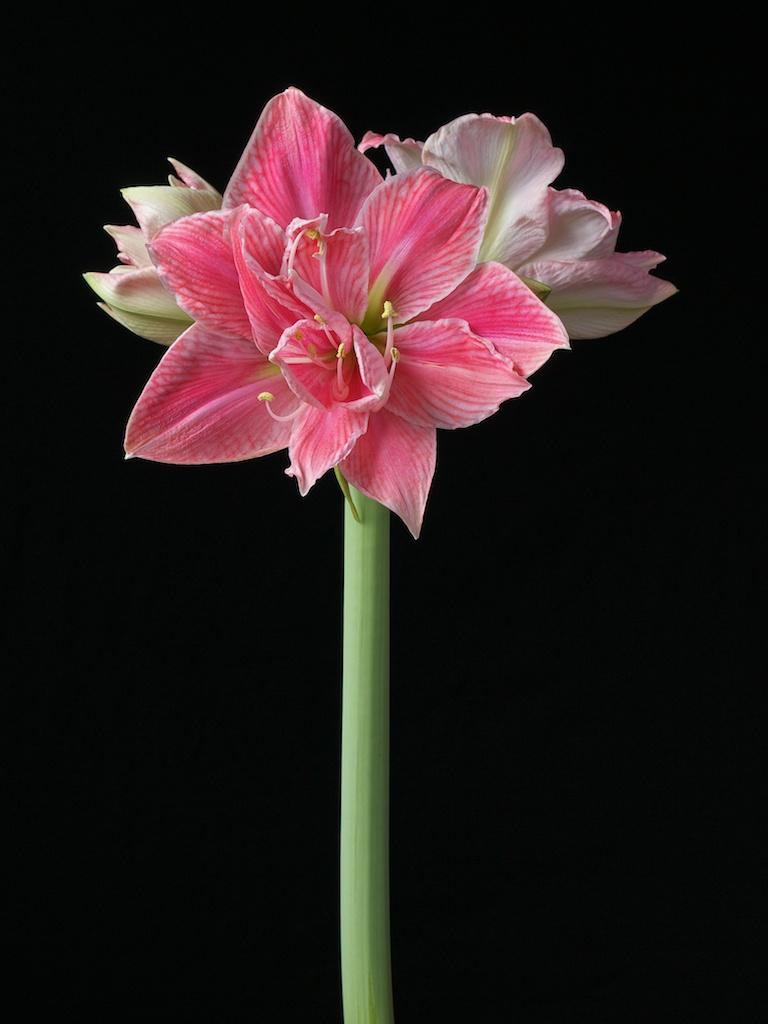 Double flowered amaryllis – emaryllis.com